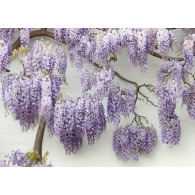 Blooming Wisteria Giant Mural